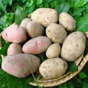 Patate Società Agricola di Platischis